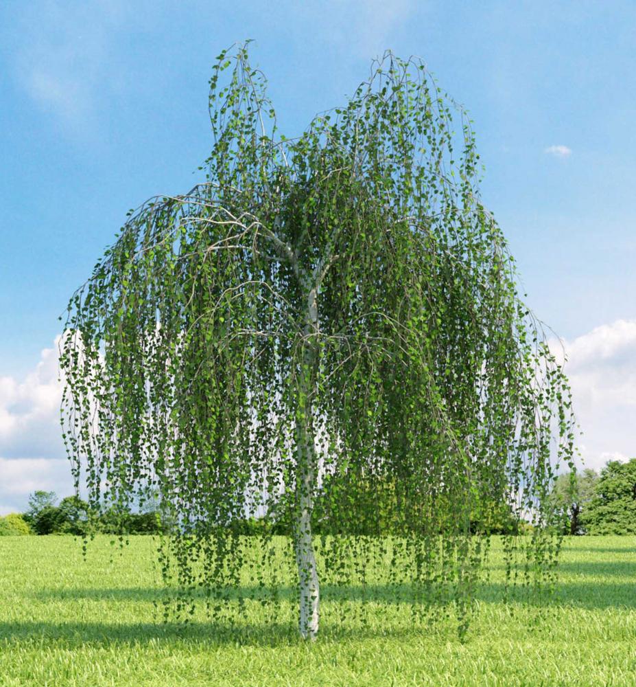 Breza previsnut betula pendula youngiii for Arboles frutales para el jardin