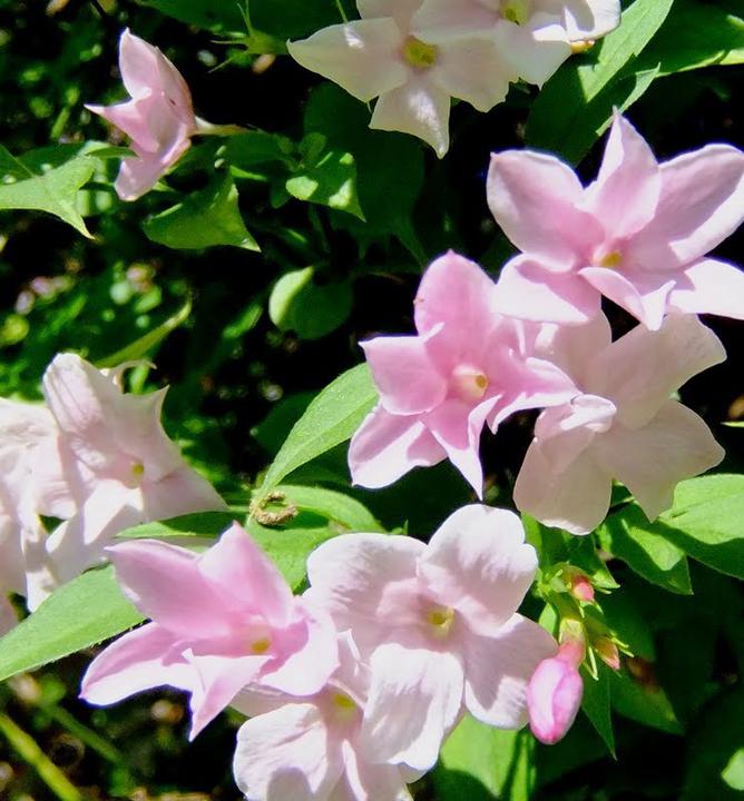 Jazmín ružový / jasminum stephanense