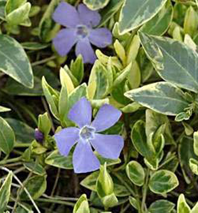 Zimozeleň menšia / vinca minor ´aureovariegata´ k9