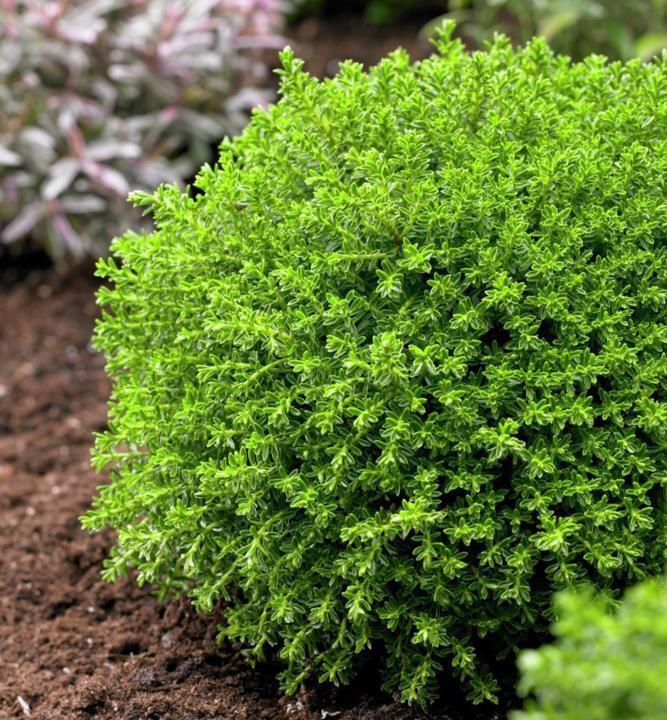 hebe green globe hebe green globe najv internetov obchod s rastlinami. Black Bedroom Furniture Sets. Home Design Ideas