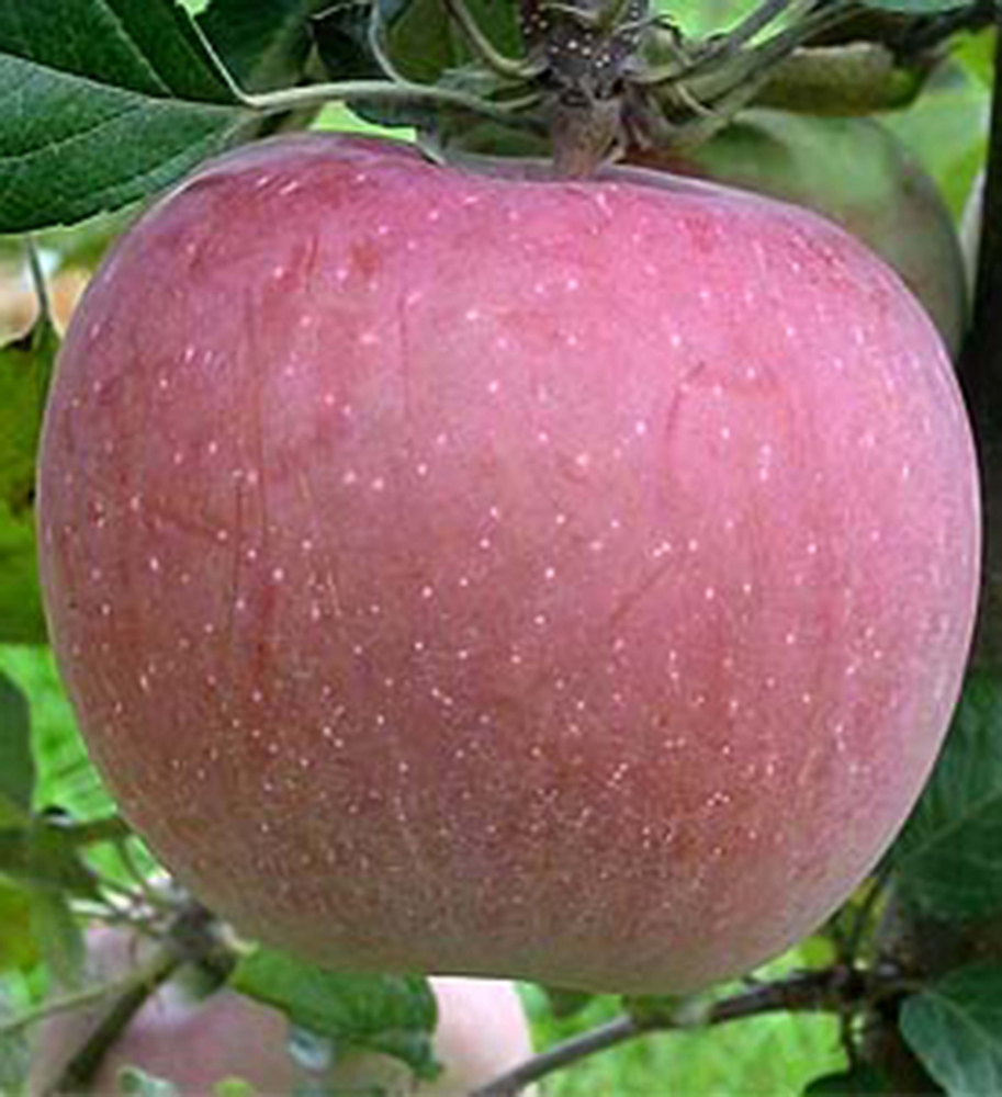 Jabloň fuji