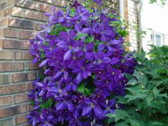 Clematis ´LADY BETTY BALFOUR´