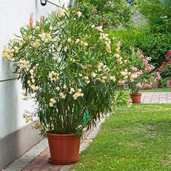 oleander angiolo pucci najv. Black Bedroom Furniture Sets. Home Design Ideas