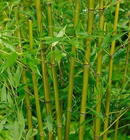 bambus phyllostachys bissetii e shop v ob ben internetov obchod s. Black Bedroom Furniture Sets. Home Design Ideas