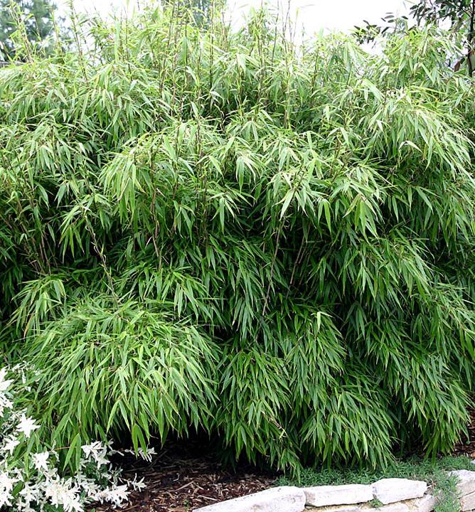 Bambus Fargesia Rufa 40 50 Cm Kont 1 5 L E Shop Lumigreen