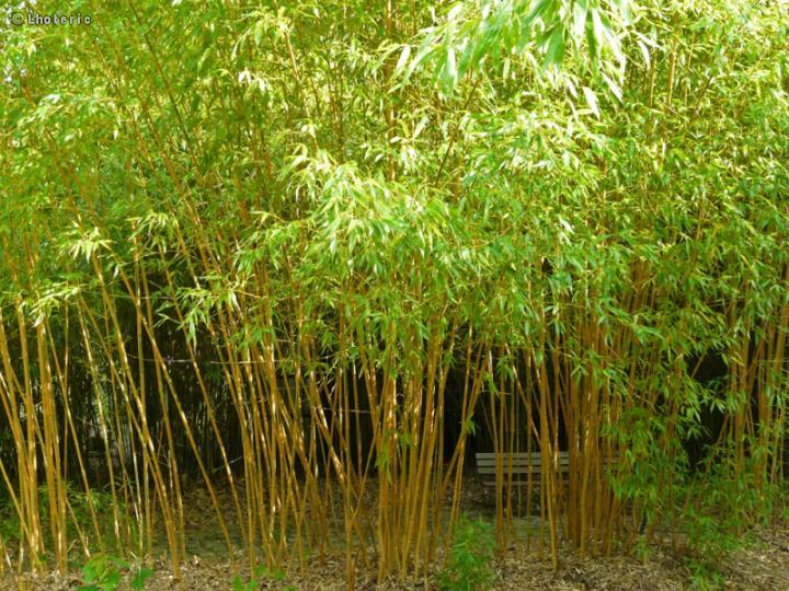 bambus phyllostachys aurea 150 180 cm kont 10 l e. Black Bedroom Furniture Sets. Home Design Ideas