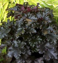Heuchera hybridná ´BLACK BEAUTY®´, kont. 0,5 l