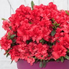 Azalka japonská ´BLOOM CHAMPION® DARK RED´ 20-30 cm, kont. 3 l