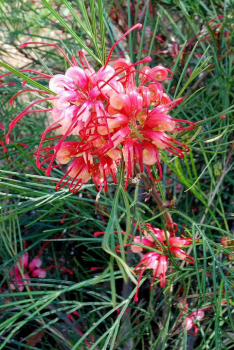 GREVILLEA JOHNSONII, 50-60 cm, kont. 3 l