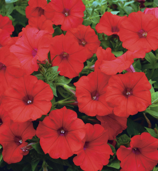 Petúnia previsnutá ´LITTLETUNIA®BRIGHT RED´