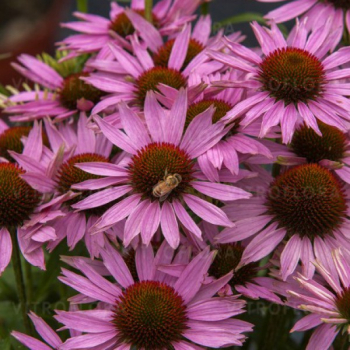 Echinacea hybridná ´FOUNTAIN LIGHT PURPLE´, kont. 1l
