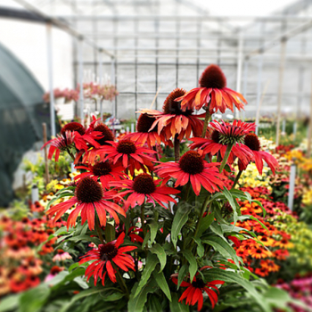Echinacea hybridná ´FOUNTAIN RED´, kont. 1 l