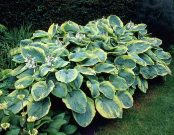 Hosta ´FRANCES WILLIAMS´ kont. 1 l