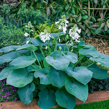 Hosta ´BRESSINGHAM BLUE´ kont. 1 l