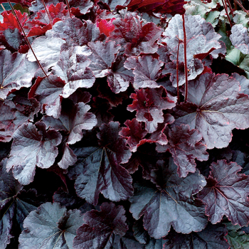 Heuchera hybridná ´NORTHERN EXPOSURE BLACK´, kont. 1 l