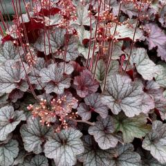 Heuchera hybridná ´NORTHERN EXPOSURE SILVER´, kont. 1 l