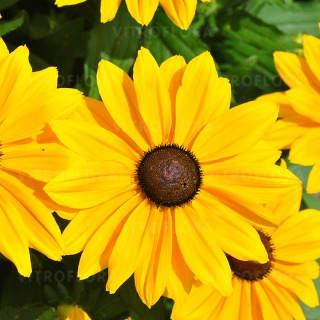 Rudbekia ´SMILEY BIG LUCK´, kont. 1 l