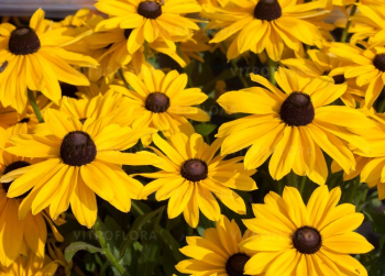 Rudbekia ´SMILEY BIG SUN´, kont.1l