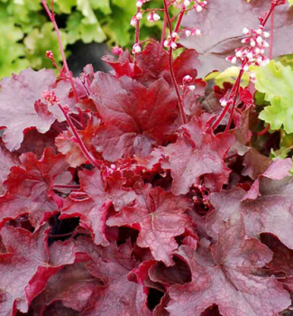 Heuchera hybridná ´FIRE CHIEF®´ kont. 1 l