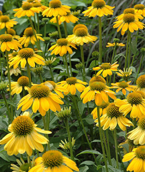 Echinacea purpurová ´SOMBRERO LEMON YELLOW´, kont. 0,5 l