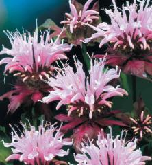 Monarda podvojná ´BEAUTY OF COBHAM´ kont. 0,5 l