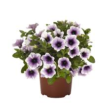 Petúnia previsnutá ´SWEETUNIA®PURPLE SPOTLIGHT´