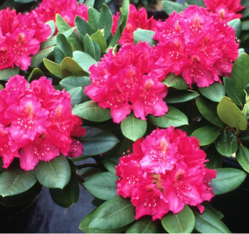 Rododendron ´PEARCE´S AMERICAN BEAUTY´ 40-50 cm, kont. 5 l