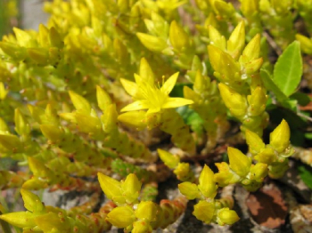 Sedum acre ´YELLOW QUEEN´ detail kvetu