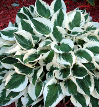 Hosta ´PATRIOT´ kont. 1 l