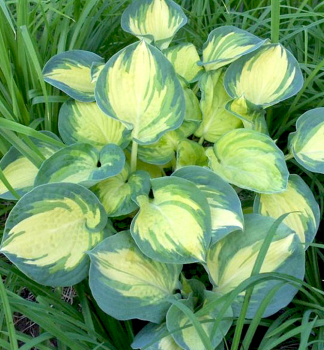 Hosta ´GREAT EXPECTATIONS´ kont. 0,5l