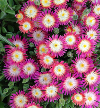 Delosperma  ´JEWEL OF DESERT RUBY®´ kont. 0,5 l