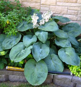 Hosta ´BIG DADDY´, kont. 1 l