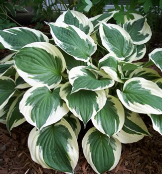 Hosta ´MINUTE MAN´, kont. 1 l