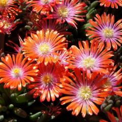 Delosperma ´JEWEL OF DESERT SUNSTONE´ ®