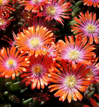 Delosperma ´JEWEL OF DESERT SUNSTONE´, kont. 0,5 l