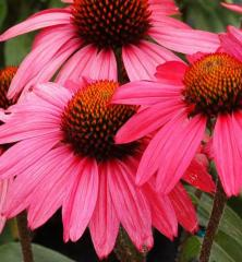 Echinacea hybridná ´GLOWING DREAM®´, kont. 1 l