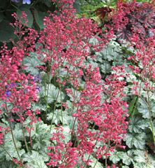 Heuchera hybridná ´PARIS®´