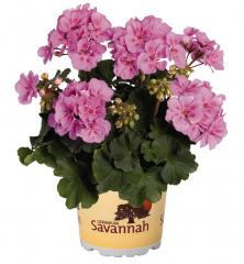 Pelargónia vzpriamená ´SAVANNAH®LAVENDER SPLASH´