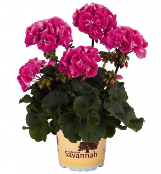 Pelargónia vzpriamená ´SAVANNAH® TEXMEX HOT PINK´