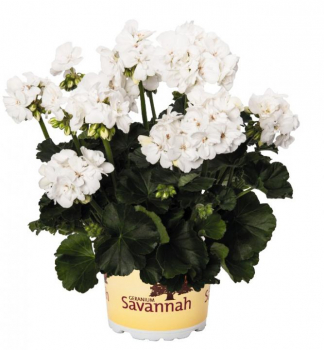 Pelargónia vzpriamená ´SAVANNAH® WHITE 2017´