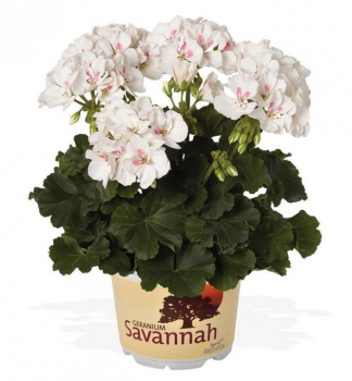 Pelargónia vzpriamená ´SAVANNAH® WHITE SPLASH´