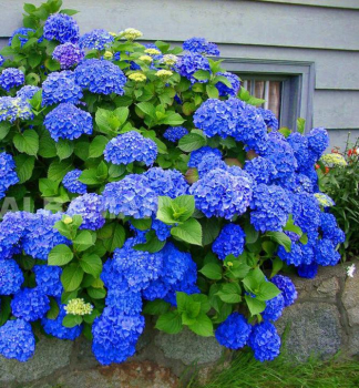 Hortenzia kalinolistá ´EARLY BLUE´® 20-30 cm, kont. 1,4 l