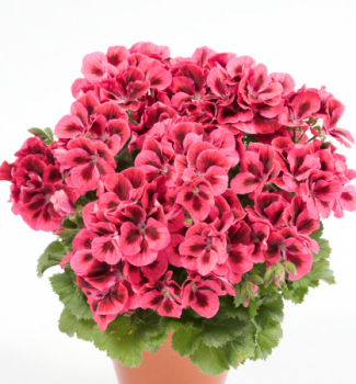 Pelargónia veľkokvetá ´CANDY FLOWERS®RASPBERRY RED´