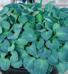 Hosta ´BLUE MOUSE EARS´, kont. 1 l