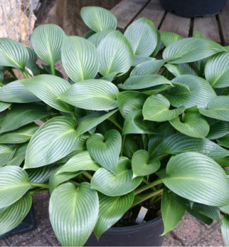 Hosta ´DEVON GREEN´, kont. 1 l