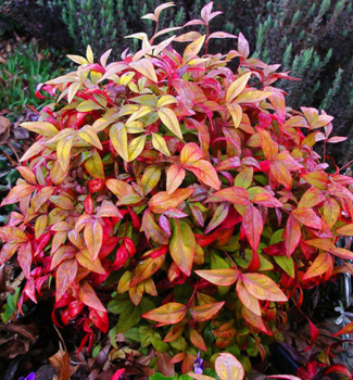 Nandina hybridná ´FIRE POWER´ 15-20 cm, kont. 1 l