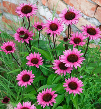Echinacea hybridná ´FATAL ATTRACTION®´, kont. 1 l