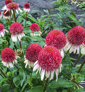 Echinacea hybridná ´STRAWBERRY AND CREAM®´ kont. 1 l