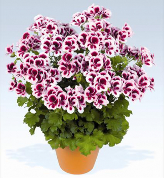 Pelargónia veľkokvetá ´CANDY FLOWERS® BICOLOR ´