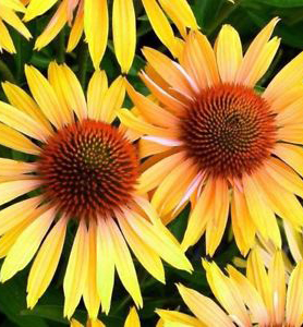 Echinacea purpurová ´MELLOW YELLOWS´, kont. 0,5 l